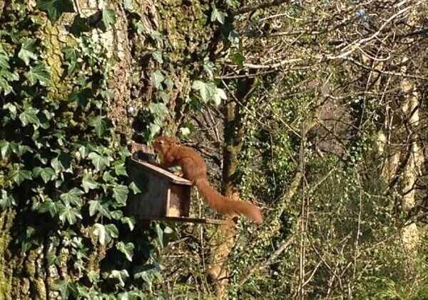 Red Squirrel spotted!